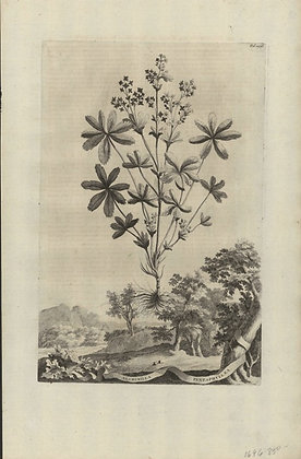Plate 090: Alchimilla pentaphyllaea