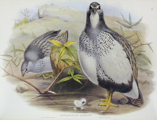 Plate 731: Tetraogallus Altaicus