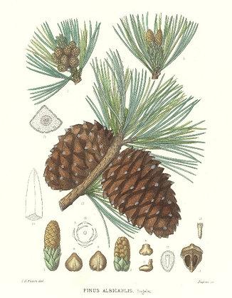 Plate 548: Pinus Albicaulis (White Pine)
