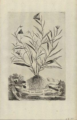 Plate 140: Conolvulus non Conolvulus angustifolius
