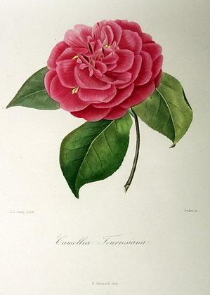 Camellia Tourresiana