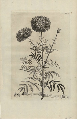 Plate 158: Flos Africanus flore pleno fistuloso
