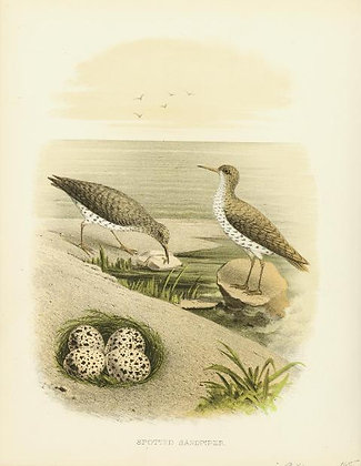 Plate 11: Spotted Sandpiper