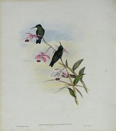 Plate 321: Erythronota Saucerottei