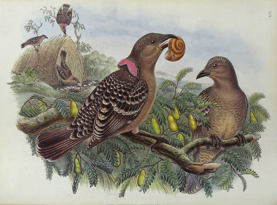 Plate 144: Chlamydodera Orientalis