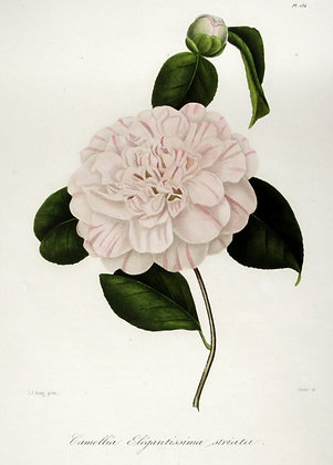 Camellia Walter frederic Campbell