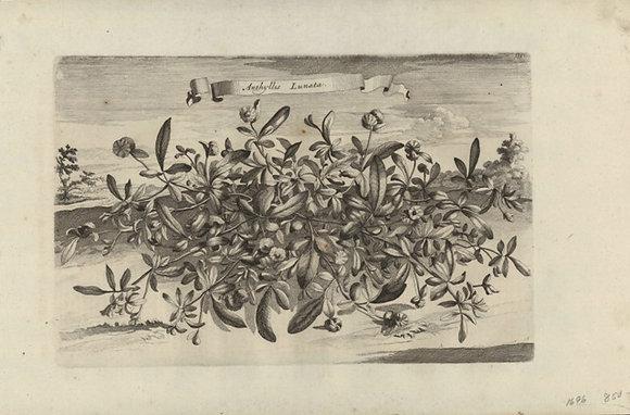 Plate 102: Anthyllis lunata
