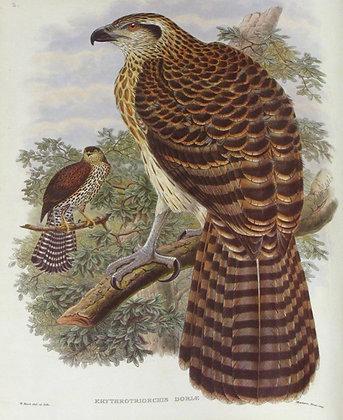 Plate 102: Erythrotriorchis Doriae