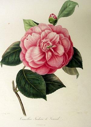 Camellia Frederick Grand
