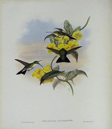 Plate 294: Thaumatias Leucogaster