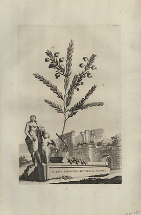 Plate 030: Myrtus Tarentina tenuifolia minima