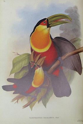 Plate 14: Ramphastos Dicolorus