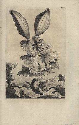 Plate 024: Guanabanus folio ficulneo