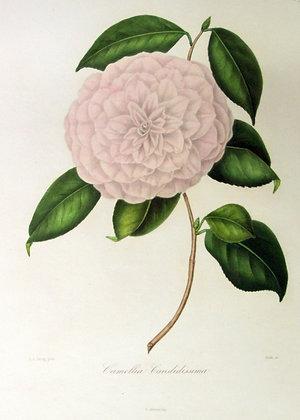 Camellia Candidissima