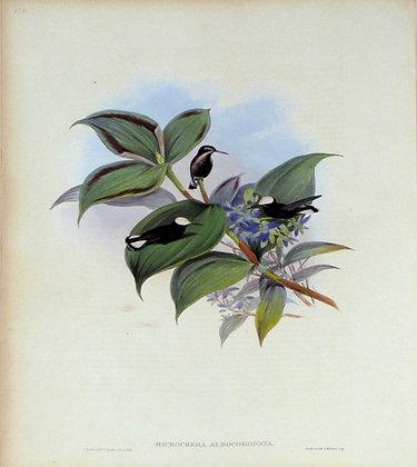 Plate 116: Microchera Albocoronata