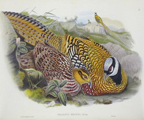 Plate 733: Phasianus Reevesii