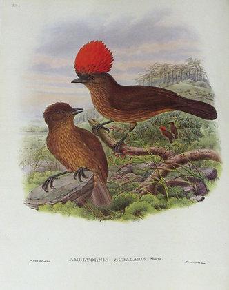Plate 147: Amblyornis Subalaris