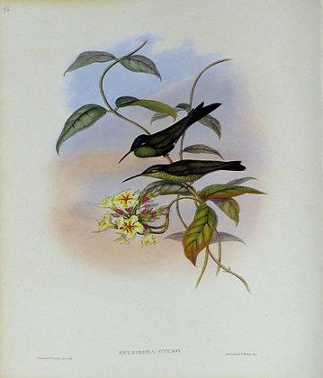 Plate 096: Heliodoxa Otero