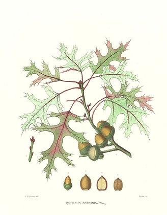 Plate 413: Quercus Coccinea (Scarlet Oak)