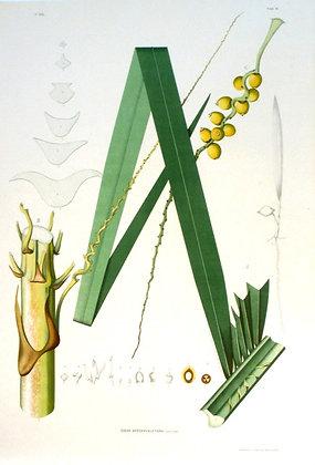 Plate 181: Cocos Arechavaletana