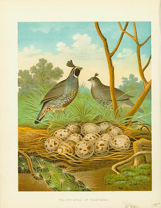 Plate 15: Valley Quail of California