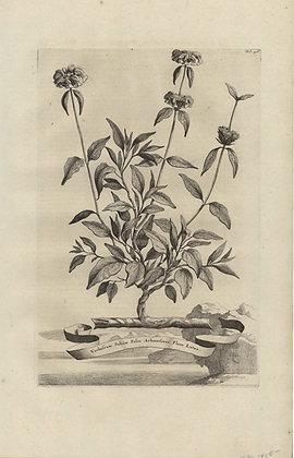 Plate 115: Verbascum salviae folio arborescens