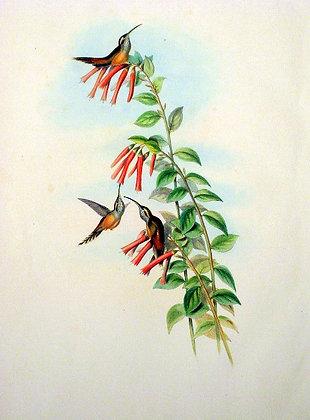 Plate 037: Phæthornis Strigularis