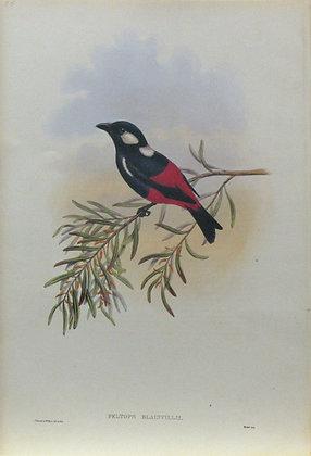 Plate 255: Peltops Blainvillii