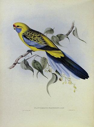 Plate 525: Platycercus Flaveolus