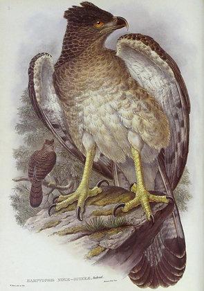 Plate 103: Harpyopsis Novae Guineae