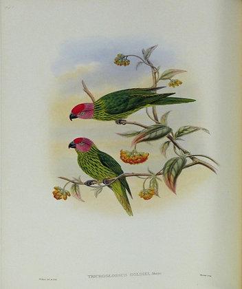 Plate 541: Trichoglossus Goldiei
