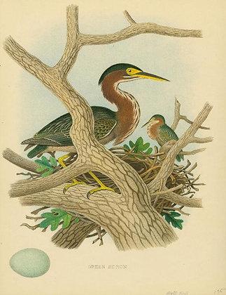 Plate 42: Green Heron