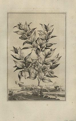 Plate 031: Myrtus laurifolia