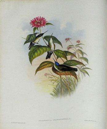 Plate 286: Cyanomyia Cyanocephala
