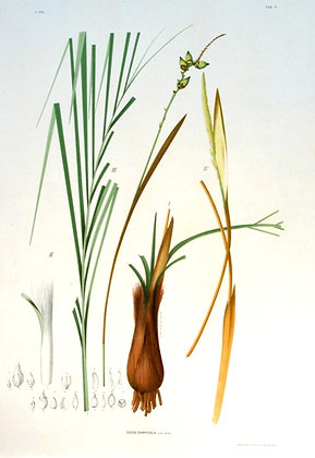 Plate 171: Cocos Capicola
