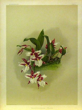 Plate 004: Odontoglossum rossii