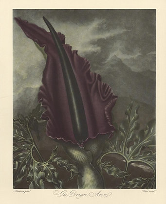 Plate 09: The Dragon Arum