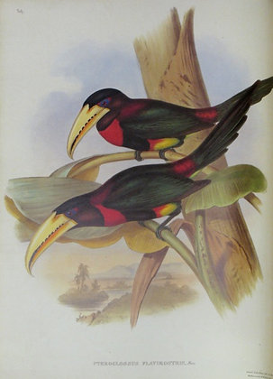 Plate 29: Pteroglossus Flavirostris