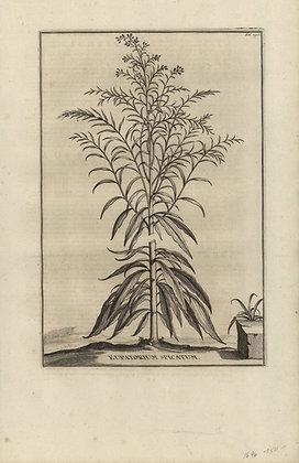 Plate 088: Eupatorium spicatum