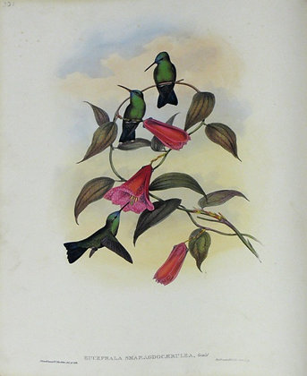 Plate 331: Eucephala Smaragdo-Caerulea