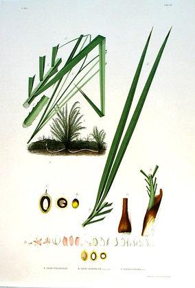 Plate 162: A. Cocos Stolonifera