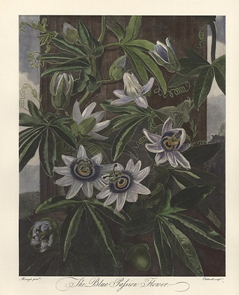 Plate 11: The Blue Passion Flower