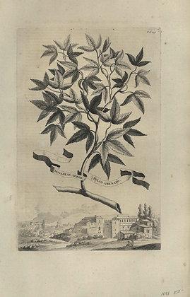 Plate 019: Sassafras arbor folio crenato