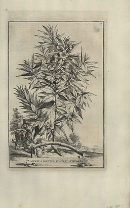 Plate 026: Myrtus Boetica pumila latifolia