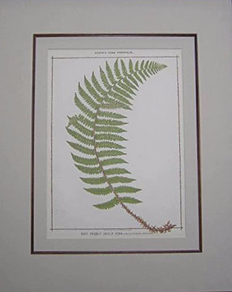 Plate 05: The Soft Prickly Shield Fern