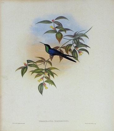 Plate 100: Thalurania Watertoni