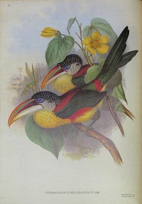 Plate 025: Pteroglossus Beauharnaisi