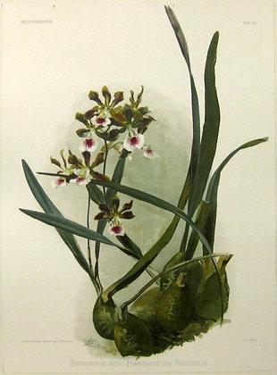 Plate 194: Epidendrum atro-Purpureum var Randianum