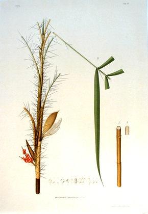 Plate 247: Amylocarpus Linearifolius