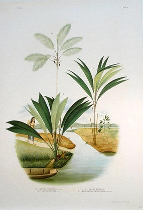 Plate 203: A. Bactris Trailiana